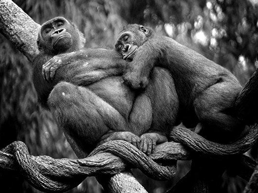 lowland-gorillas-nap