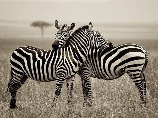 zebra-pair-kenya